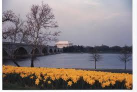 lincold daffodils