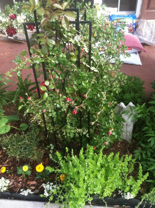 Climbing rosebush, already planted, which I trained to a trellis