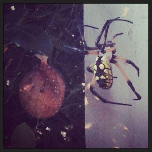 spider 7