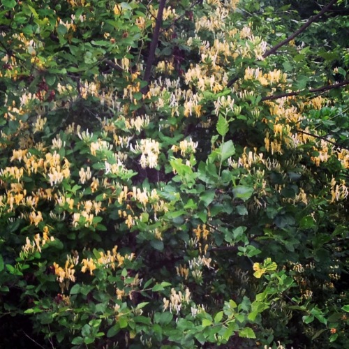 honeysuckle closeup