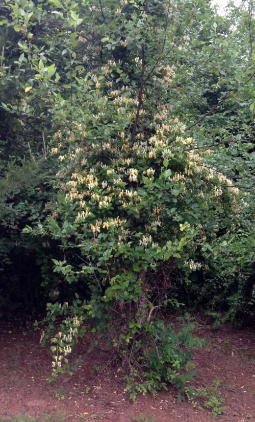 honeysuckle tree