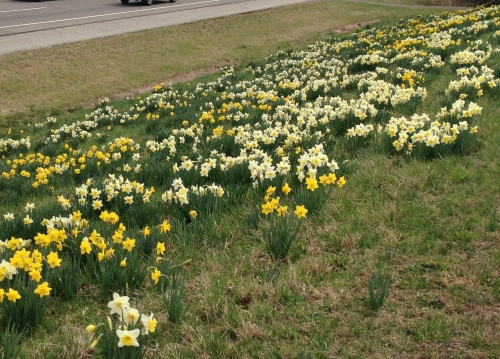Daffodils growing by the side of the Pellissippi Parkway earlier this year
