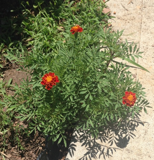 volunteer marigolds